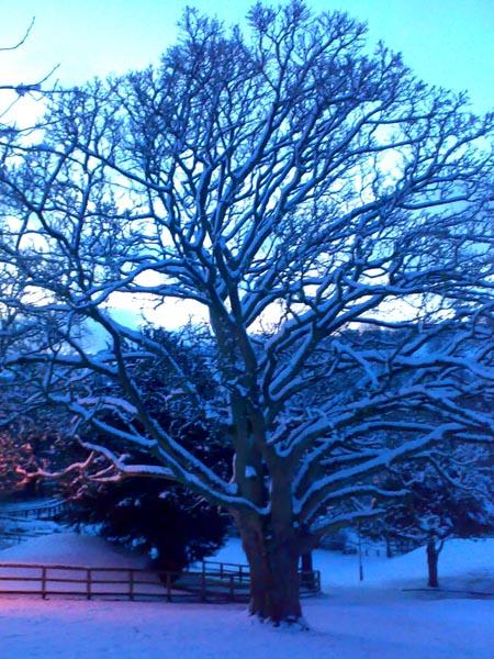 That's snow bush it's a full grown tree!